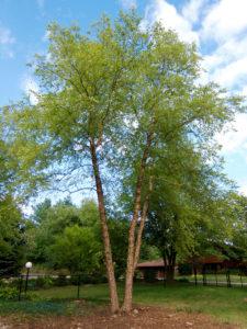 river-birch